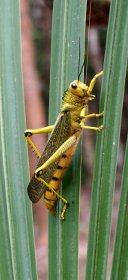 Gelbe Heuschrecke.