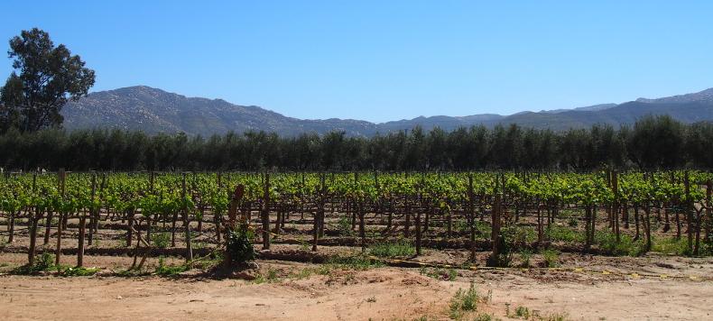 Weintrauben von L.A. Cetto.