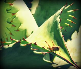 Grashüpfer auf einem Agavenblatt.